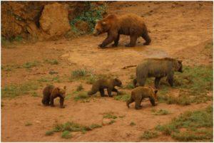 Imagen de una familia de osos tomada en el centro de cautividad de Cabárceno (Cantabria) ®Copyright Luis Gómez Ortega