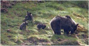 Osas con crías en la Cordillera Cantábrica ®Copyright Fundación Biodiversidad