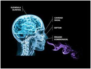 Figura 3: Esquema de la colocación de la glándula olfativa y el OVN © Copyright: lyra.