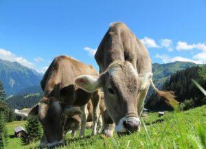 vacas carne ecológica