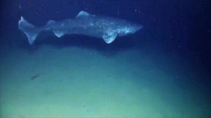 El vertebrado más longevo de la tierra, cuenta con 515 años. Imagen extraída del video de www.marca.com